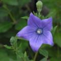 [plant][purple][キキョウ科]キキョウ(桔梗)の花