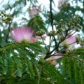 [plant][pink][ネムノキ科]ネムノキ