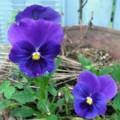 [plant][purple][スミレ科]パンジー