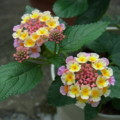 [plant][pink][yellow][クマツヅラ科]ランタナ
