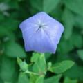 [plant][purple][キキョウ科]キキョウ(桔梗)の蕾