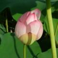 [plant][pink][ハス科]ハスの花の蕾