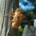 [insect]セミの抜け殻 大和高田市にて