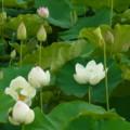 [plant][white][ハス科][奈良県]大淀町中増のハス畑