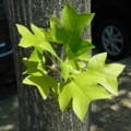 [plant][モクレン科]ユリノキ