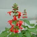 [plant][red][シソ科]サルビア・コクシネア 「アカプルコ」