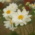[plant][white][キンポウゲ科]シュウメイギク(秋明菊)