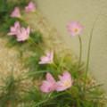 [plant][pink][ヒガンバナ科]タマスダレ
