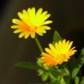 [plant][yellow][キク科]フユシラズ