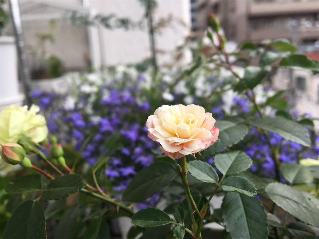 f:id:asagao-nikki:20180524001205j:image