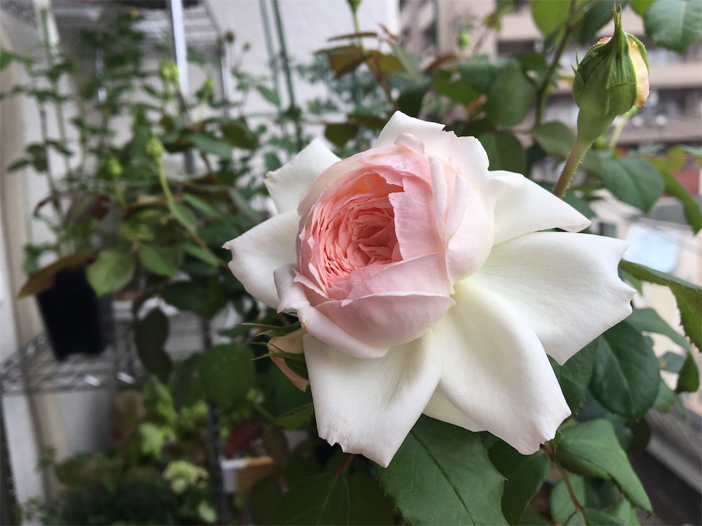 f:id:asagao-nikki:20180611232823j:image