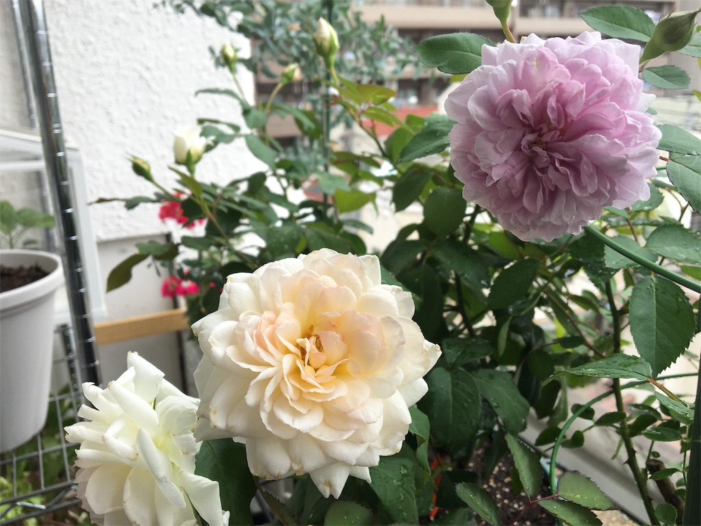 f:id:asagao-nikki:20180617123016j:image