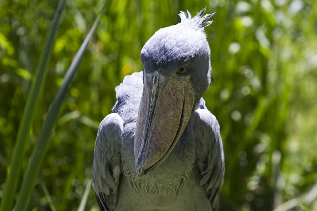 【ニコ生で】動かない鳥ハシビロコウさんをひたすら観察www【54時間生中継】