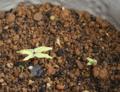アサガオの芽・ヘブンリーブルー