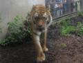 旭山動物園アムールトラ