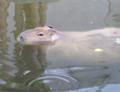 旭山動物園 カピバラ