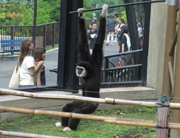 シロテナガザル 旭山動物園