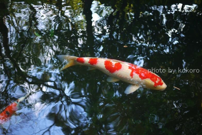 ハート模様の鯉