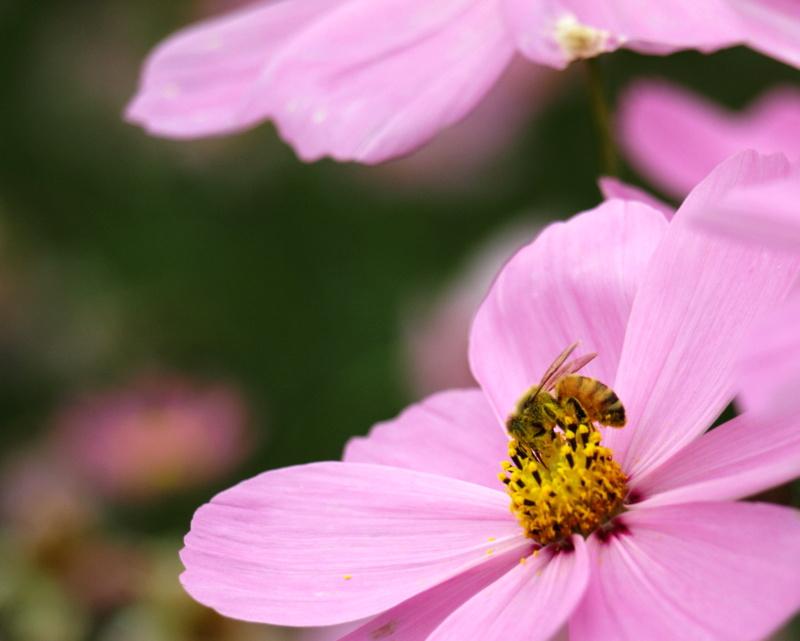 こすもす蜂