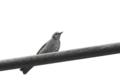 [鳥][ヒヨドリ]