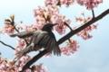 [鳥][ヒヨドリ][桜]