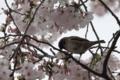 [鳥][スズメ][桜]