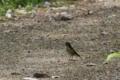 [鳥][ルリビタキ]