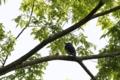 [鳥][オオルリ]