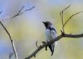 [オオルリ][鳥]