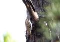 [キバシリ][鳥]