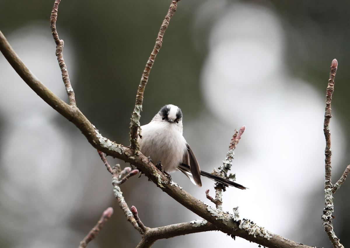 [エナガ][鳥]
