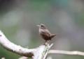 [鳥][ミソサザイ]
