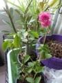 [Tea Rose]