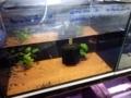 [Glass Catfish]
