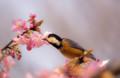 桜とヤマガラ