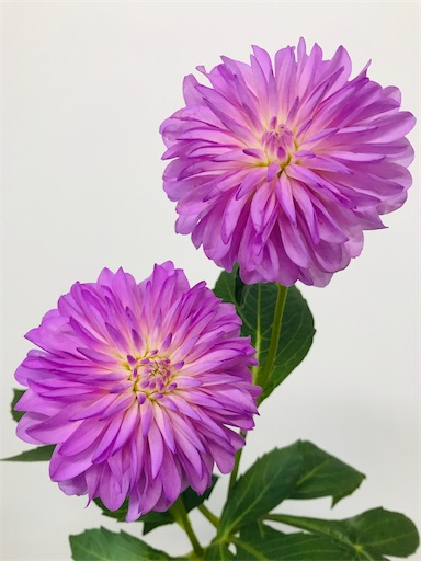 f:id:asunaro-flower:20200128160724j:image