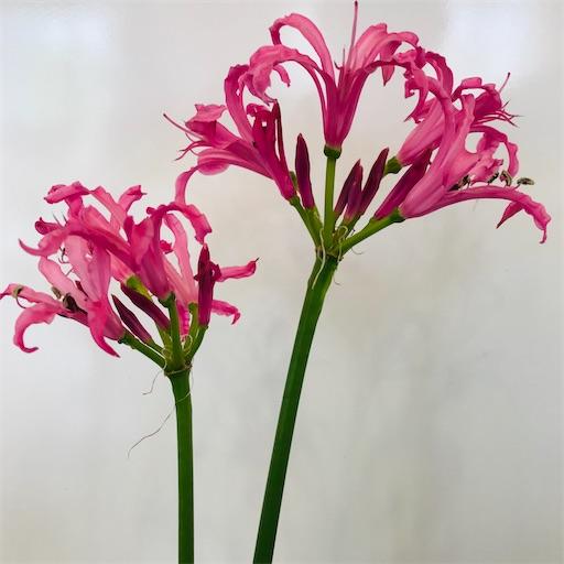 f:id:asunaro-flower:20200617020903j:image