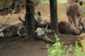 [動物]カンガルー