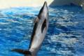 [江の島水族館][動物]イルカ