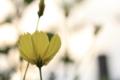 [花] キバナコスモス