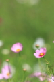 [花]コスモス