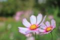 [花] コスモス
