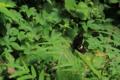[昆虫]モンキアゲハ産卵