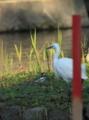 [鳥]ハクセキレイとコサギ