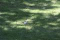 [鳥]ハクセキレイ