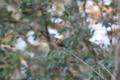 [鳥]カワラヒワ