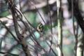 [鳥]ソウシチョウ