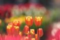 [花]チューリップ