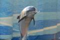 [江の島水族館]イルカ