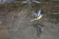 [鳥]キセキレイ